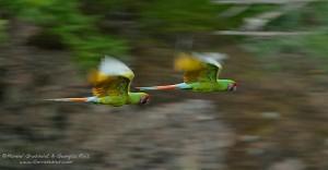 guacamayas verdes / Military Macaw